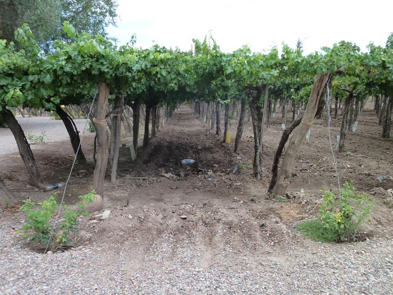 Vignes de la bodega La Rural, Mendoza, Argentine