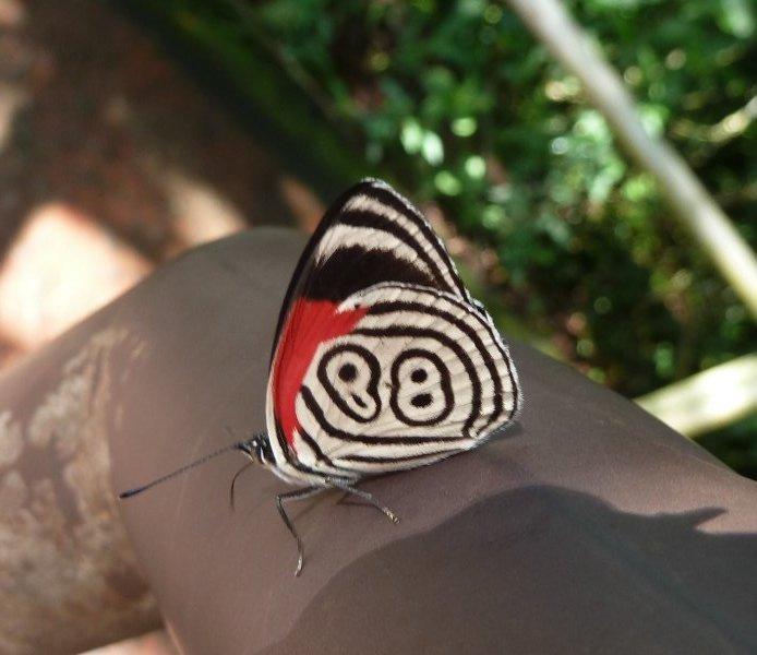 Papillon 89, Iguazu, Argentine