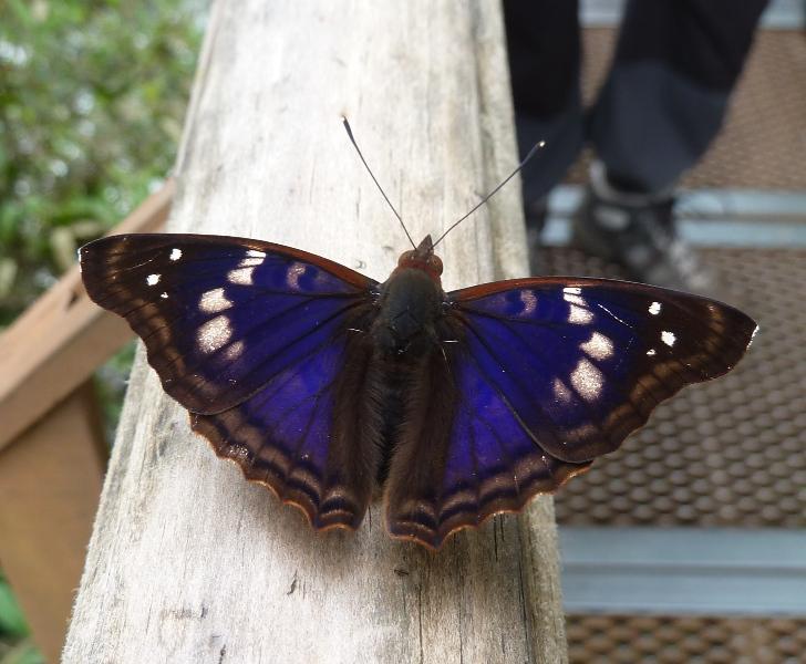 Papillon bleu nuit, Iguazu, Argentine
