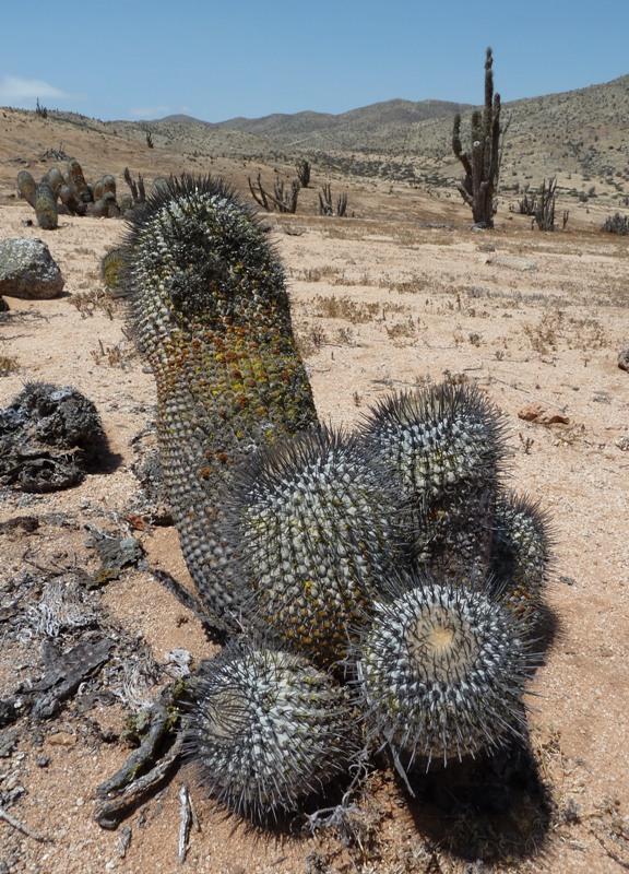 Cactus, Pan de Azucar, Chili