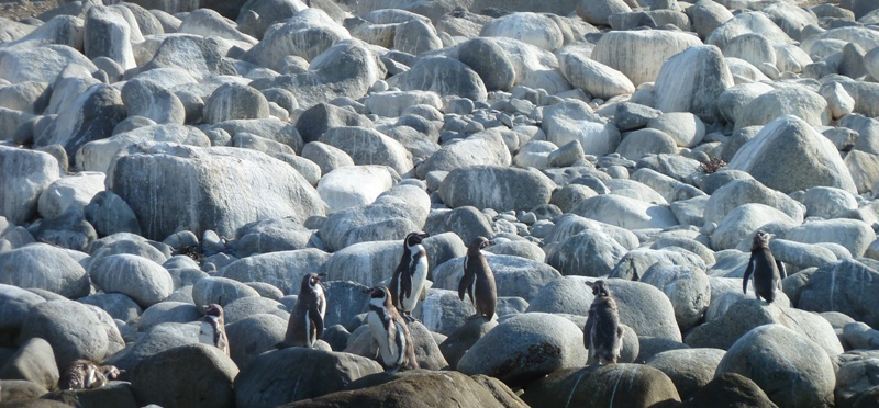 Pingouins, Pan de Azucar, Chili
