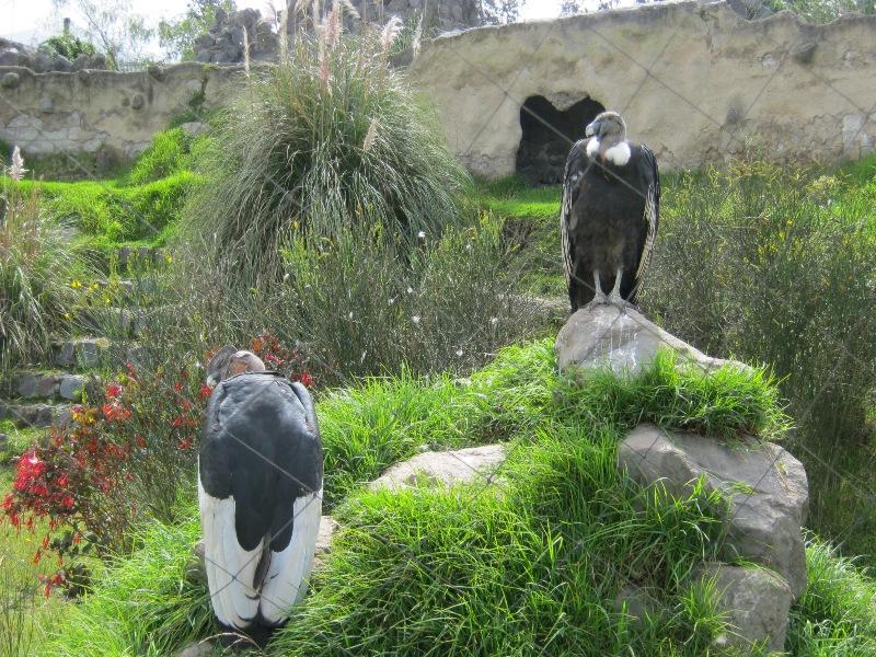 Condors, parque El Condor