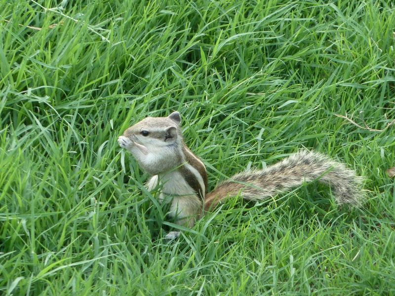Petit ecureuil dans le parc du Fort rouge, Agra, Inde