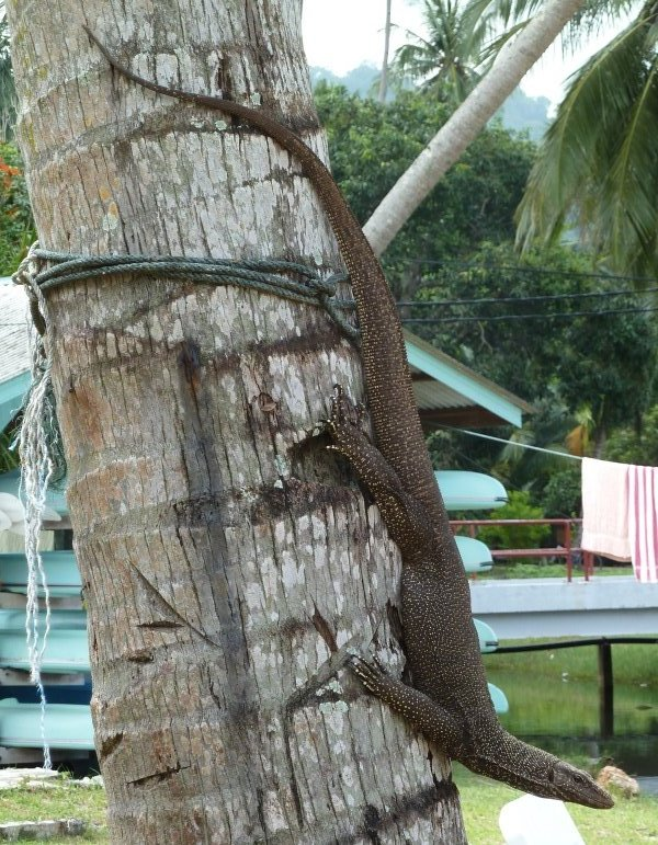 Varan, Pulau Tioman, Malaysia