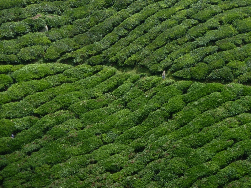 Plantations de the, Cameron Highlands, Malaysia