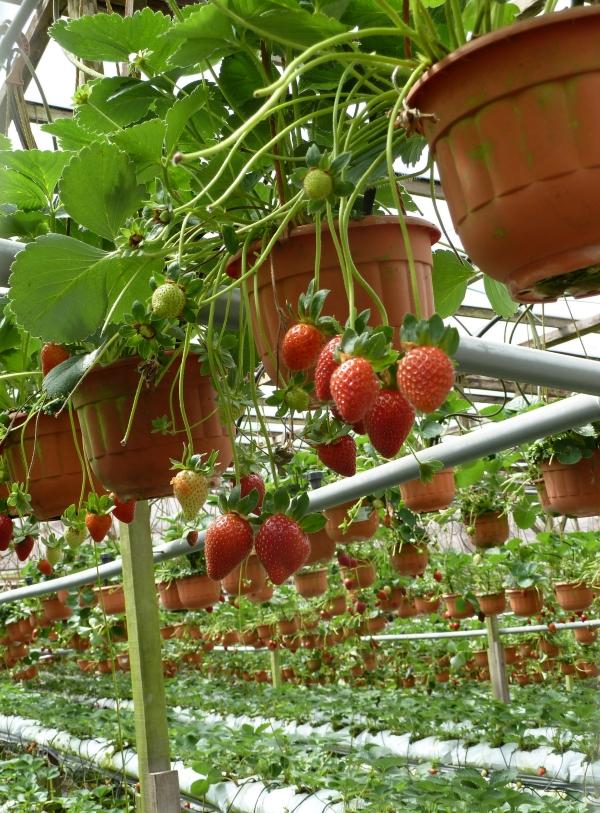 Plantation de fraises, Cameron Highlands, Malaysia
