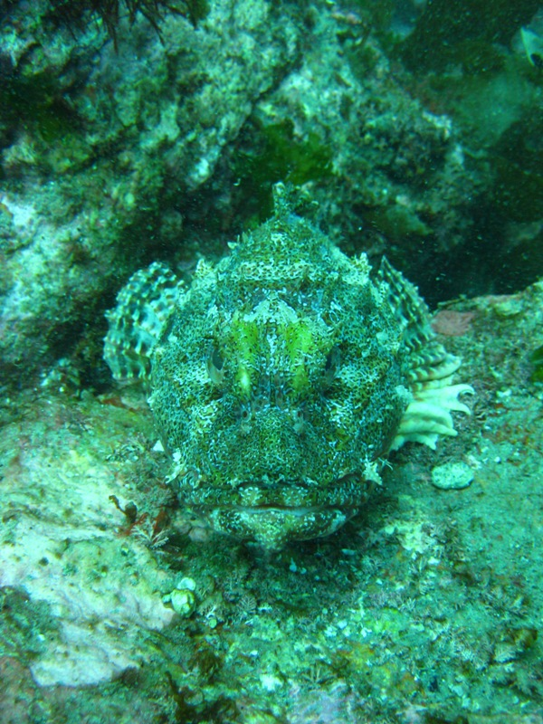 Poisson scorpion, Poor Knights islands