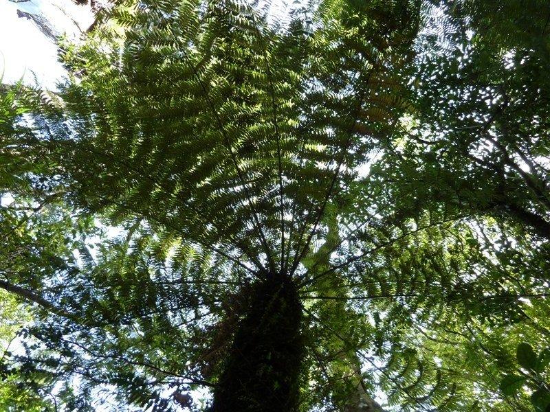 Big fern, New-Zealand