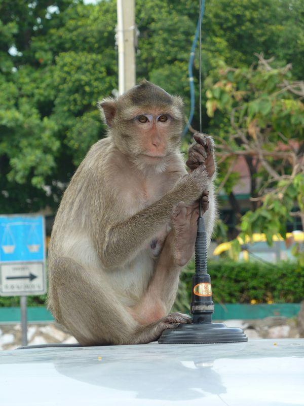 Singe sur une voiture, Lopburi, Thaïlande